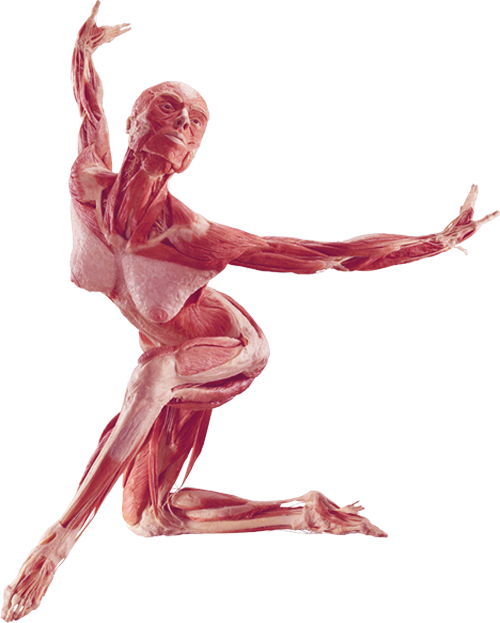 Body Donation For Plastination By The Institute For Plastination