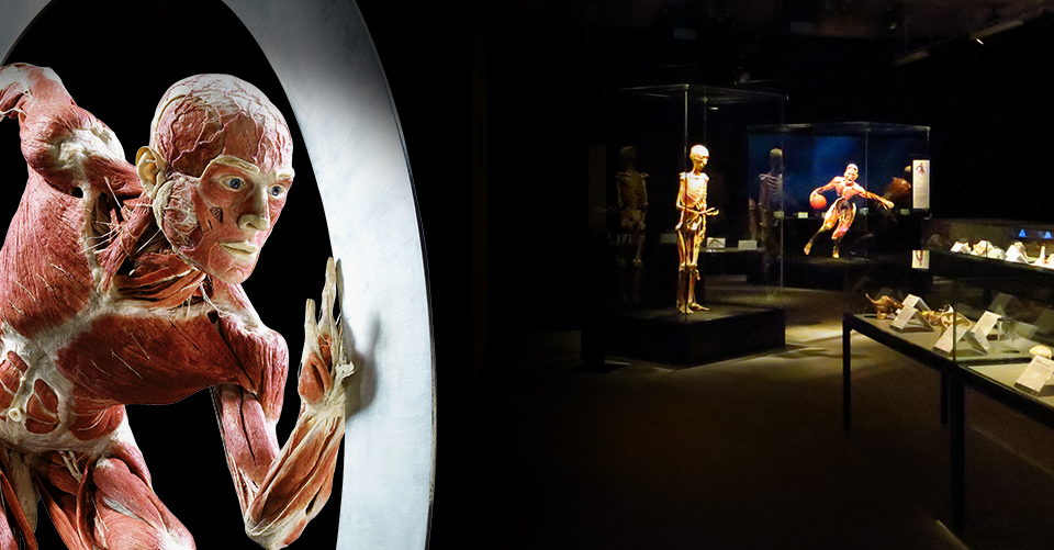 BODY WORLDS – The Museum Experience in the heart of London!