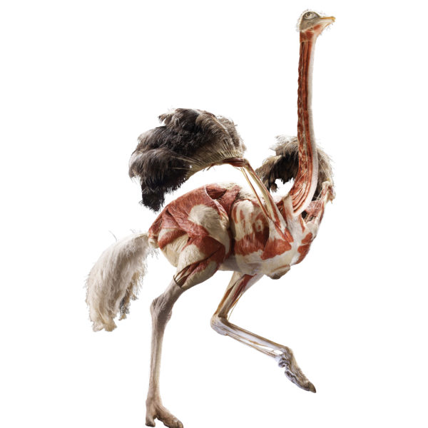 The Ostrich