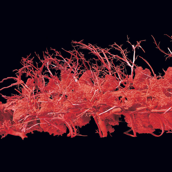 Configuration of the blood vessels in the spinal column