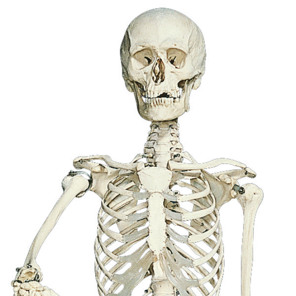 Standing Skeleton