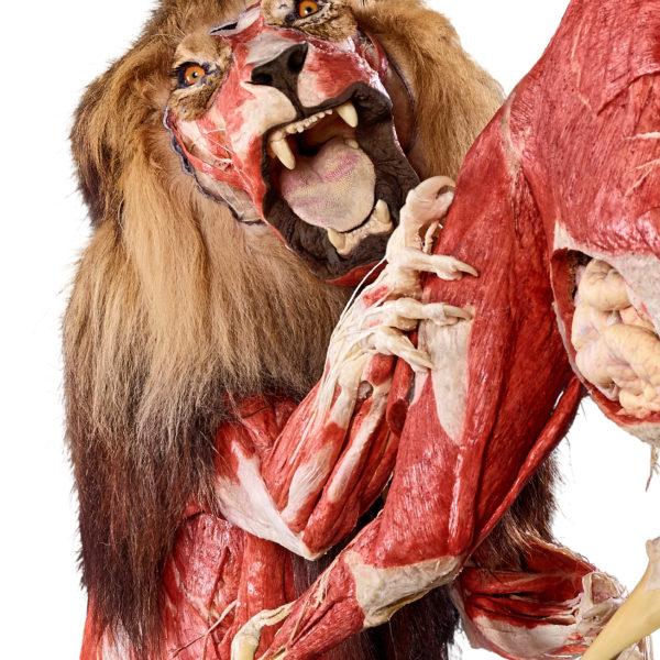 Lion »Icke«
